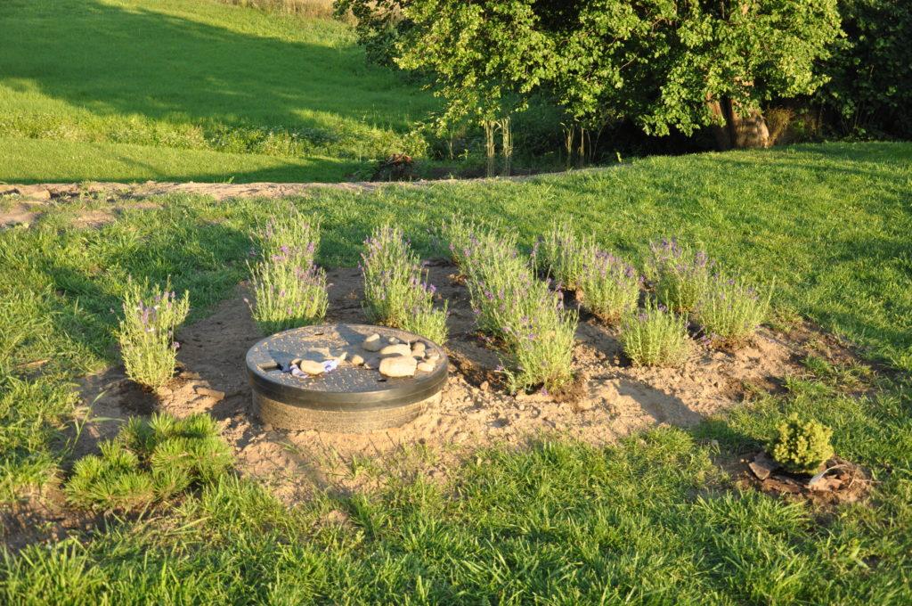 Rozmieszczenie sadzonek lawendy w rzędach
