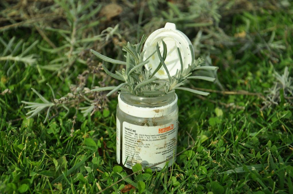 Zamaczanie w ukorzeniaczu sadzonek lawendy