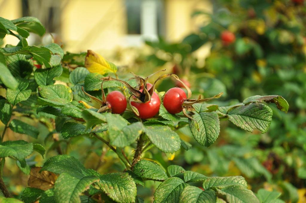 Dzika róża - owoce