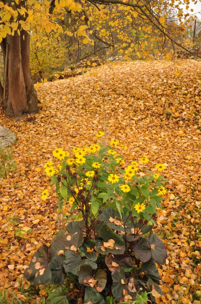 Liście lipy na trawniku