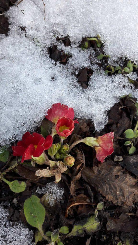 Primula kwitnąca w lutym