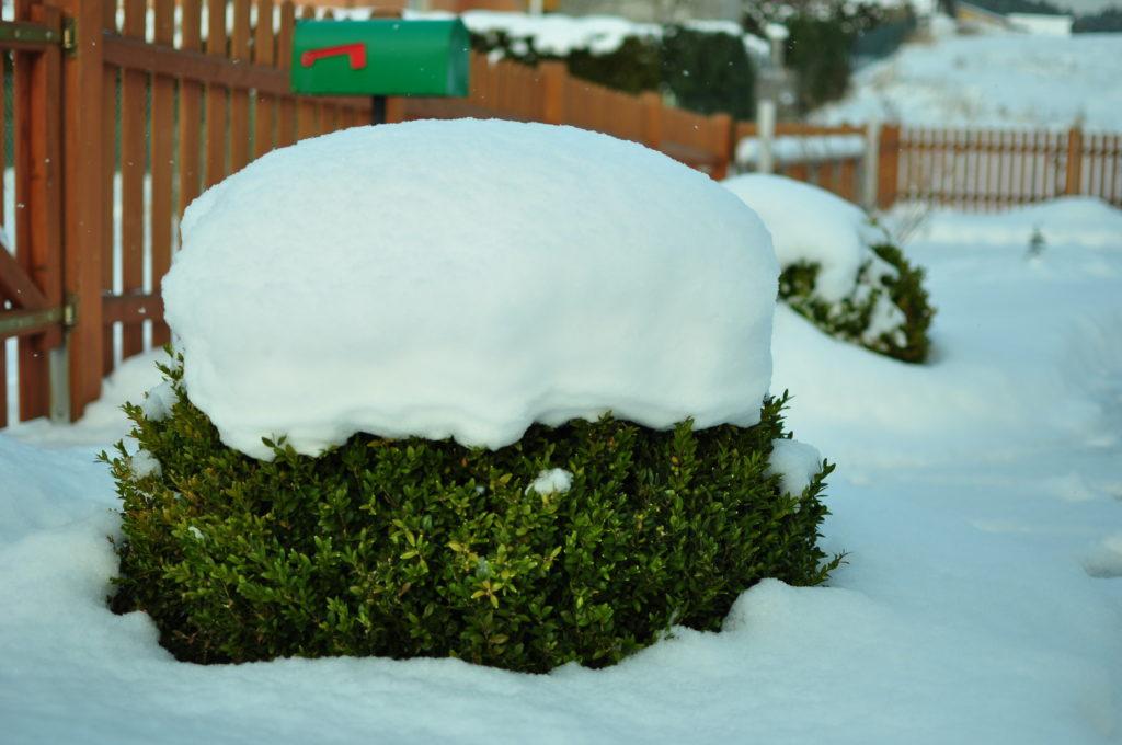 Bukszpan pod śniegiem
