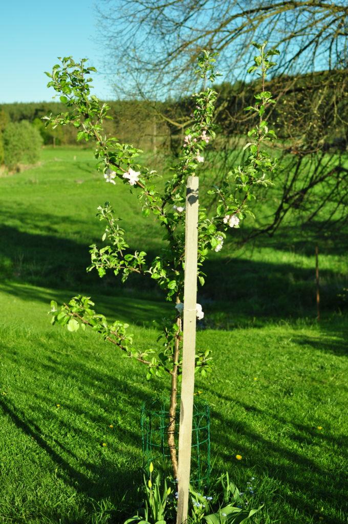 Kwitnąca jabłonka.