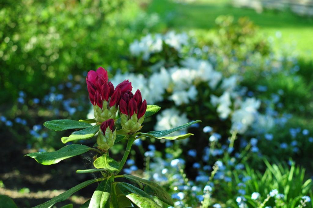 Rododendrony.