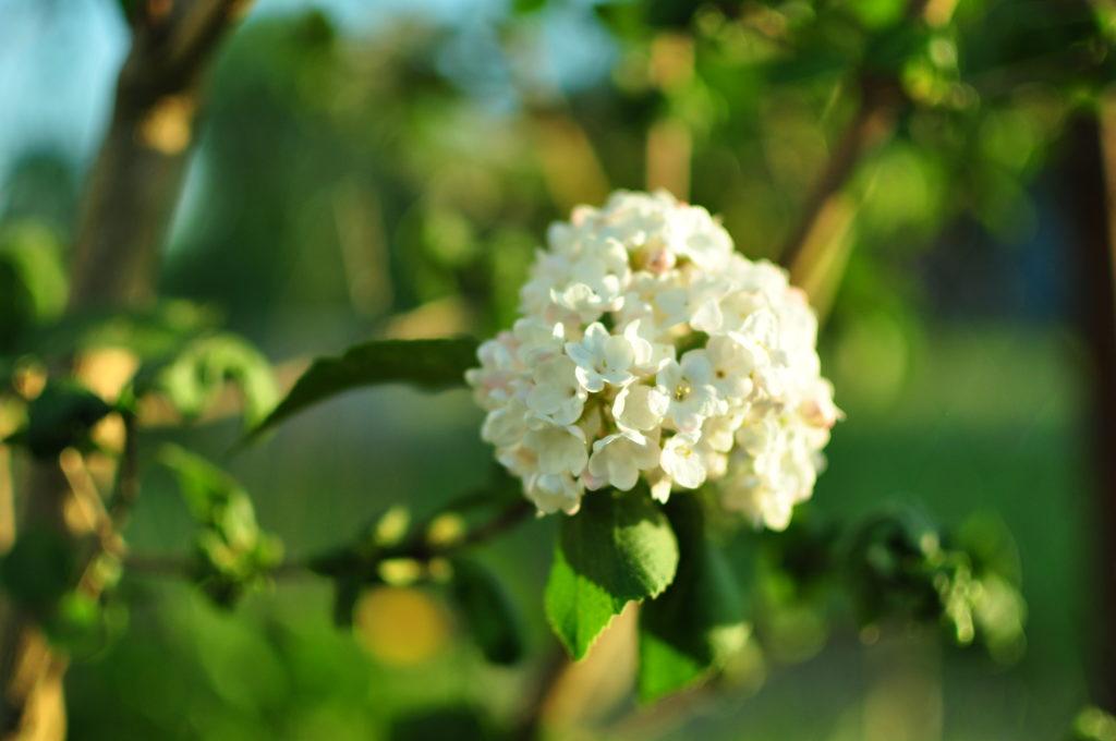 Kalina angielska - kwiaty