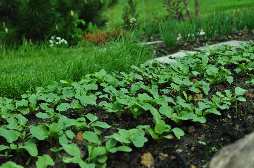 Rzodkiewki w mini warzywniku