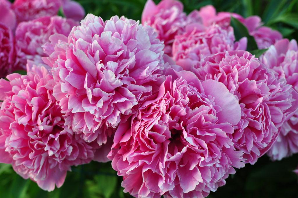 Różowe piwonie w rozkwicie