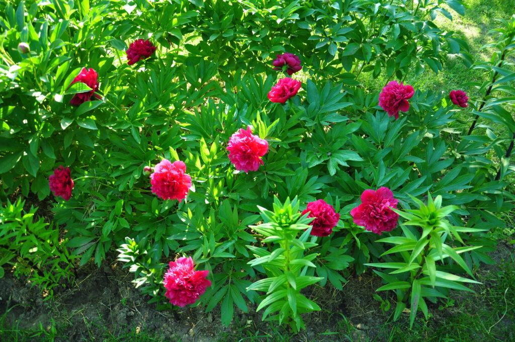 Rosnące przy domku piwonie