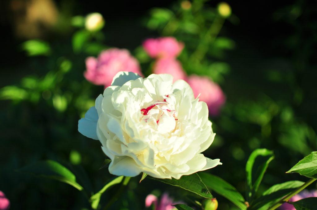 Przebarwienia w kwiecie białej piwonii