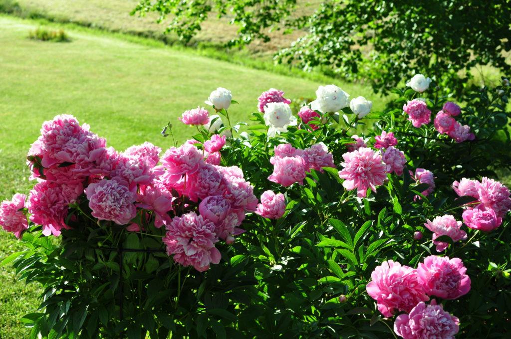 Białe i różowe piwonie rosnące przy domku dla dzieci.