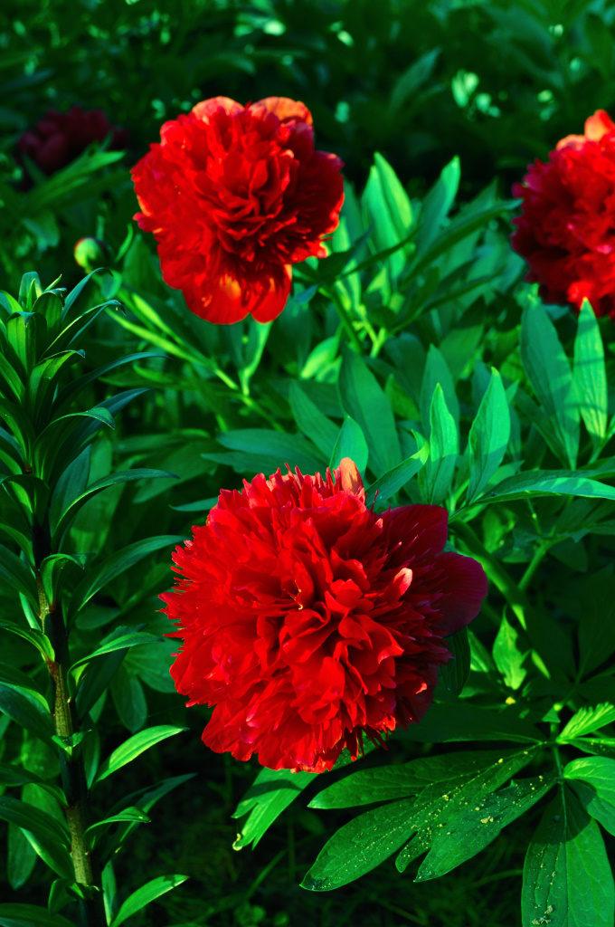 Czerwone piwonie w pełni rozkwitu