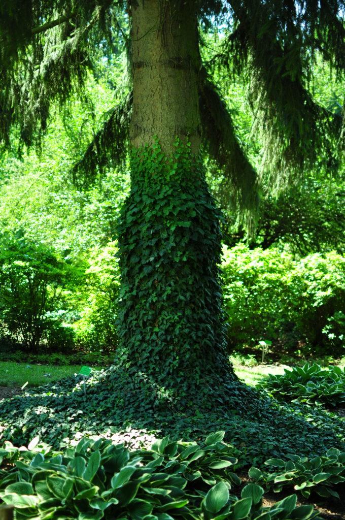 Bluszcz pnący się po drzewie