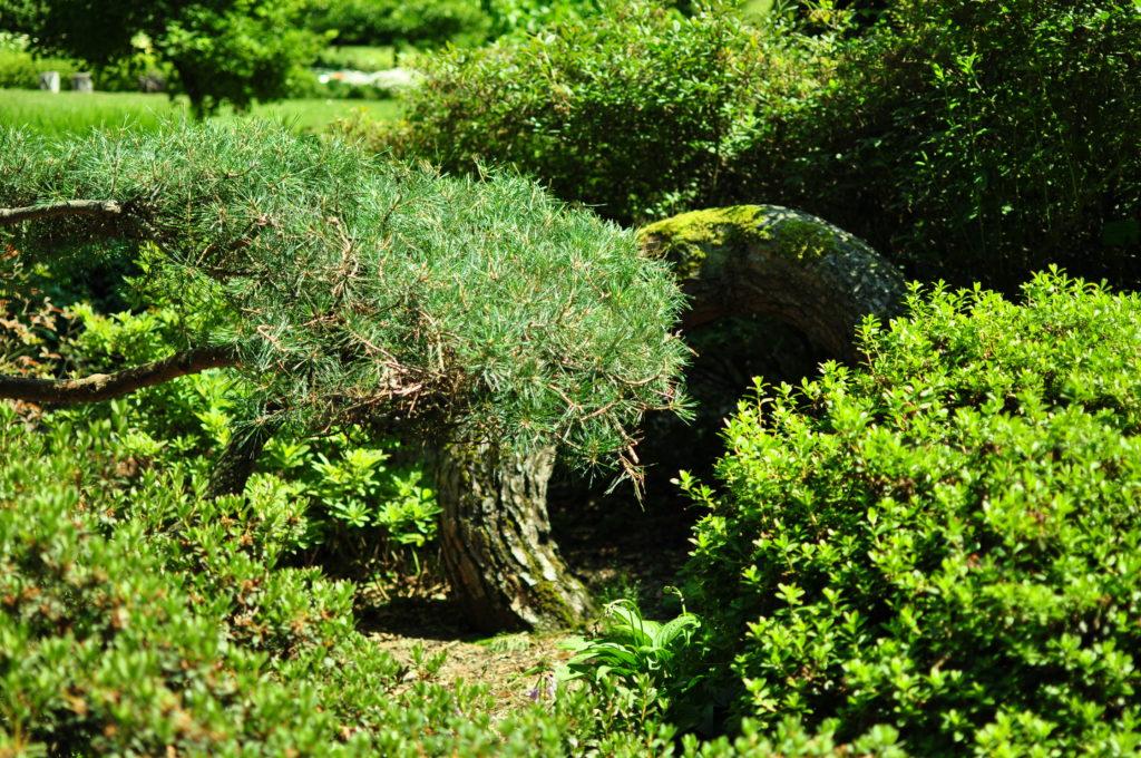 Wojsławice - arboretum - zakręcona sosna
