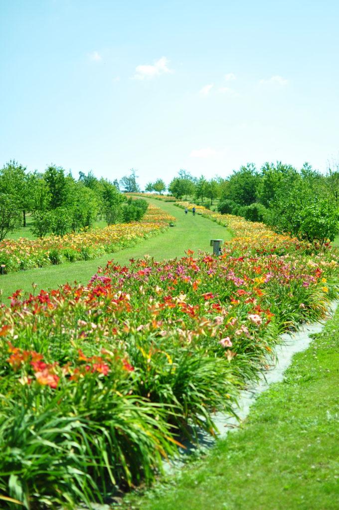 Wojsławice - aleja liliowców