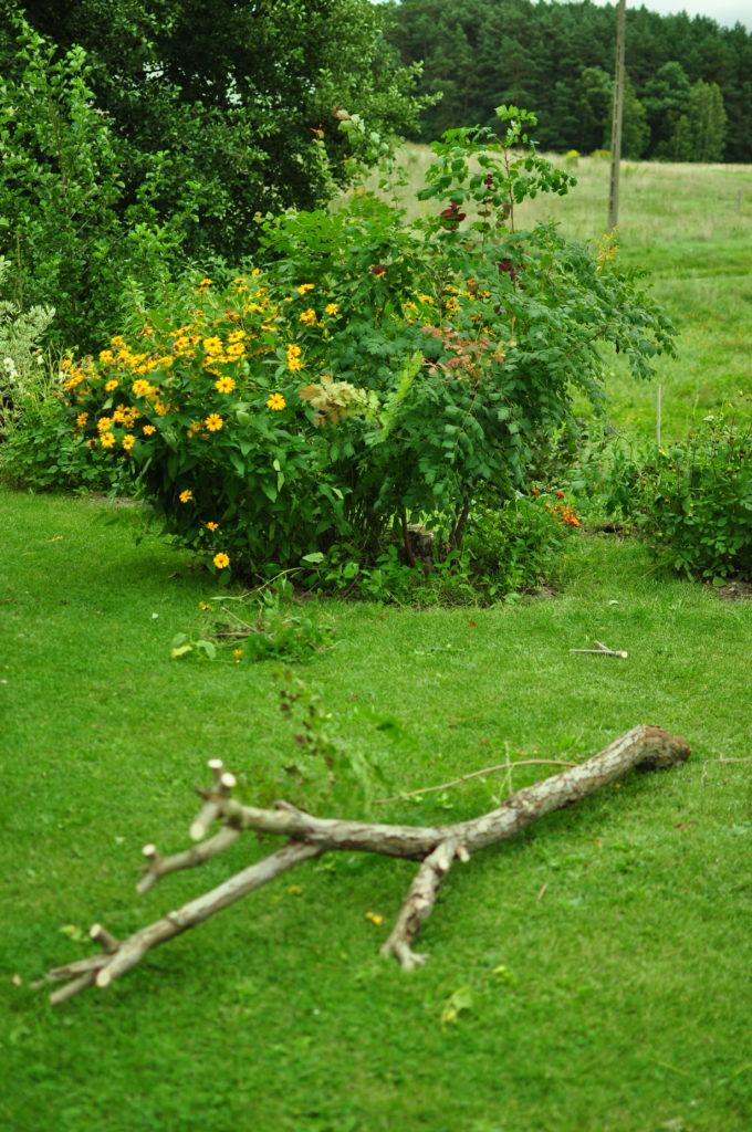 Mydleniec wiechowaty - odmładzanie rośliny