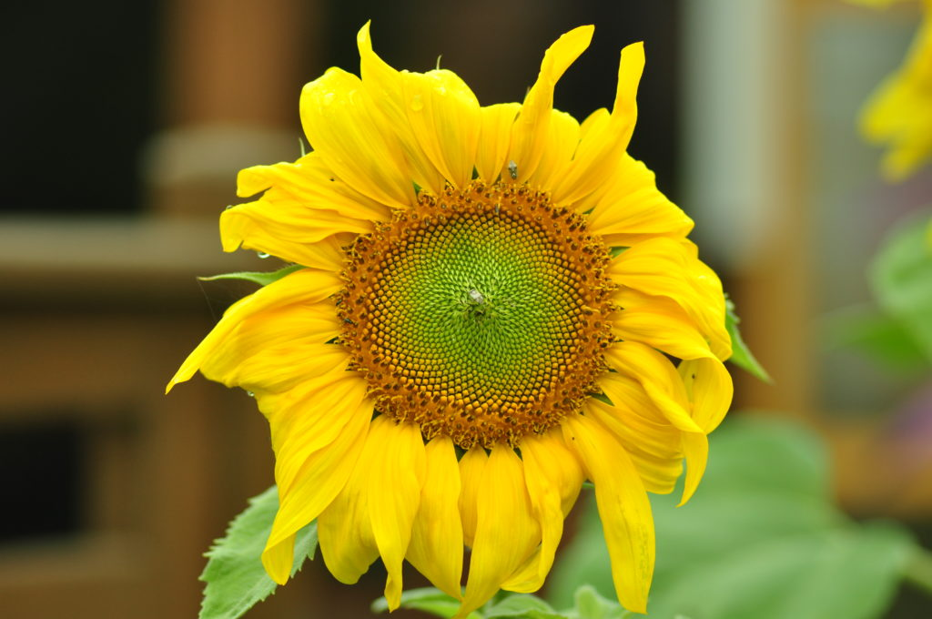 Słonecznik.