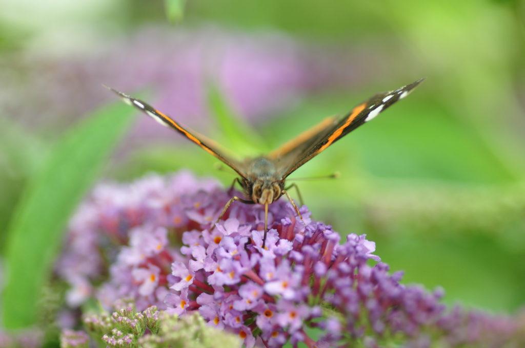 Motyl na budlei.
