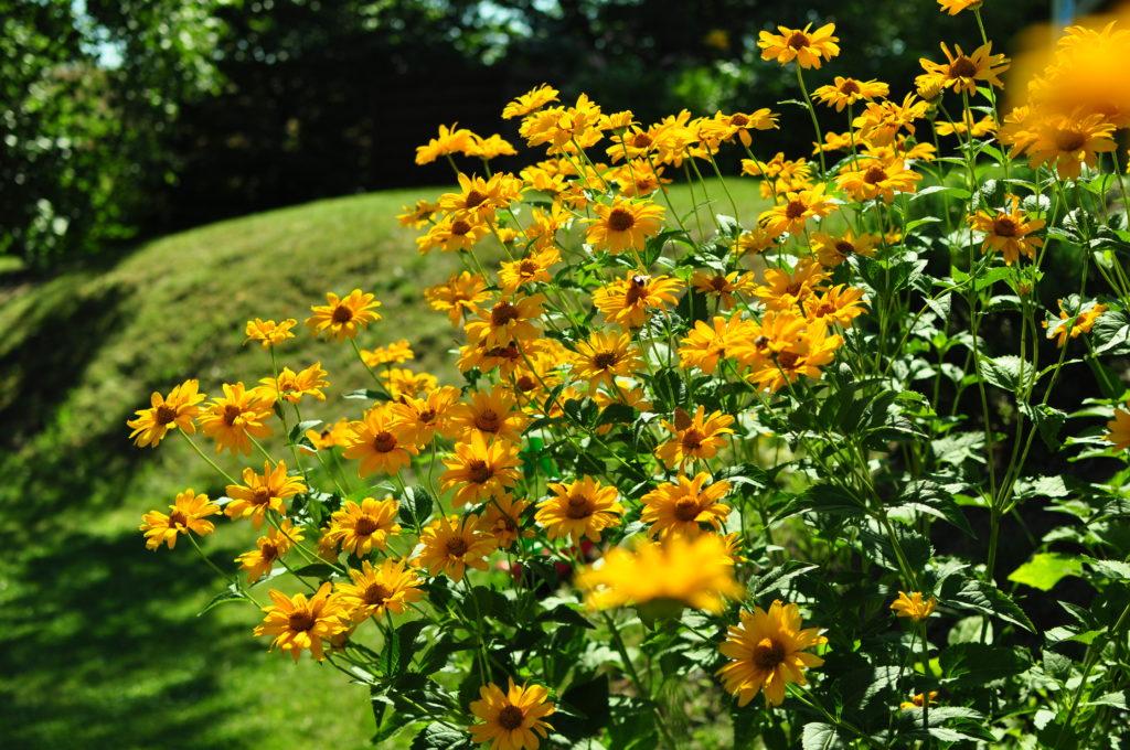 Słoneczniczki w ogrodzie.