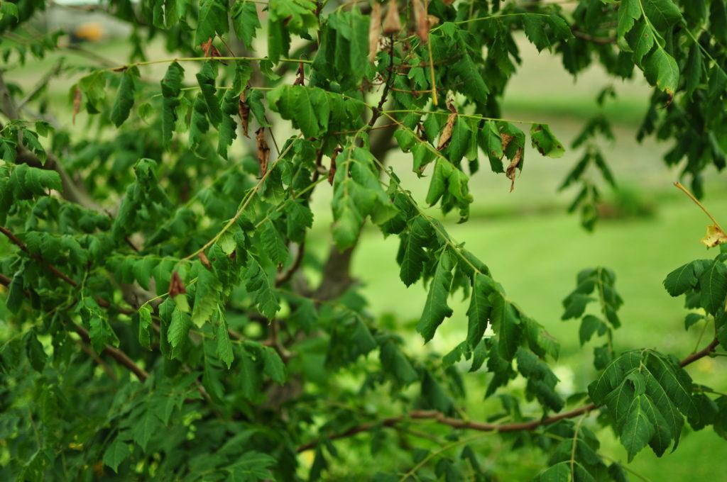 Zwiedłe liście mydleńca