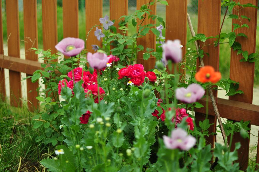 Powojnik i róża