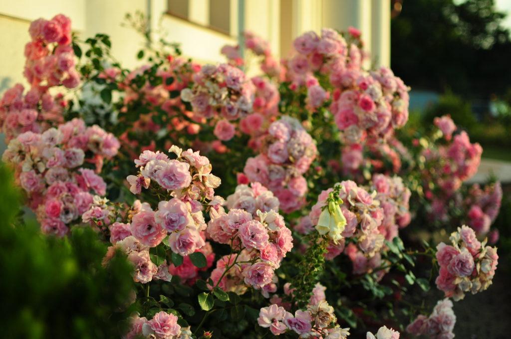 Róże przed domem.