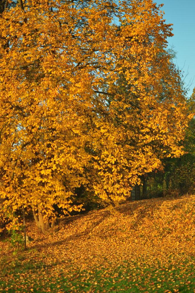 Liście opadające z lipy.