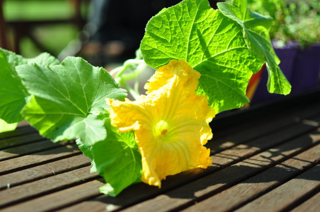 Kwiat dyni piżmowej