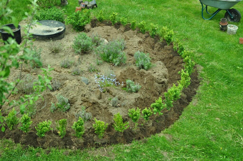 Obwódka z bukszpanu - sadzenie