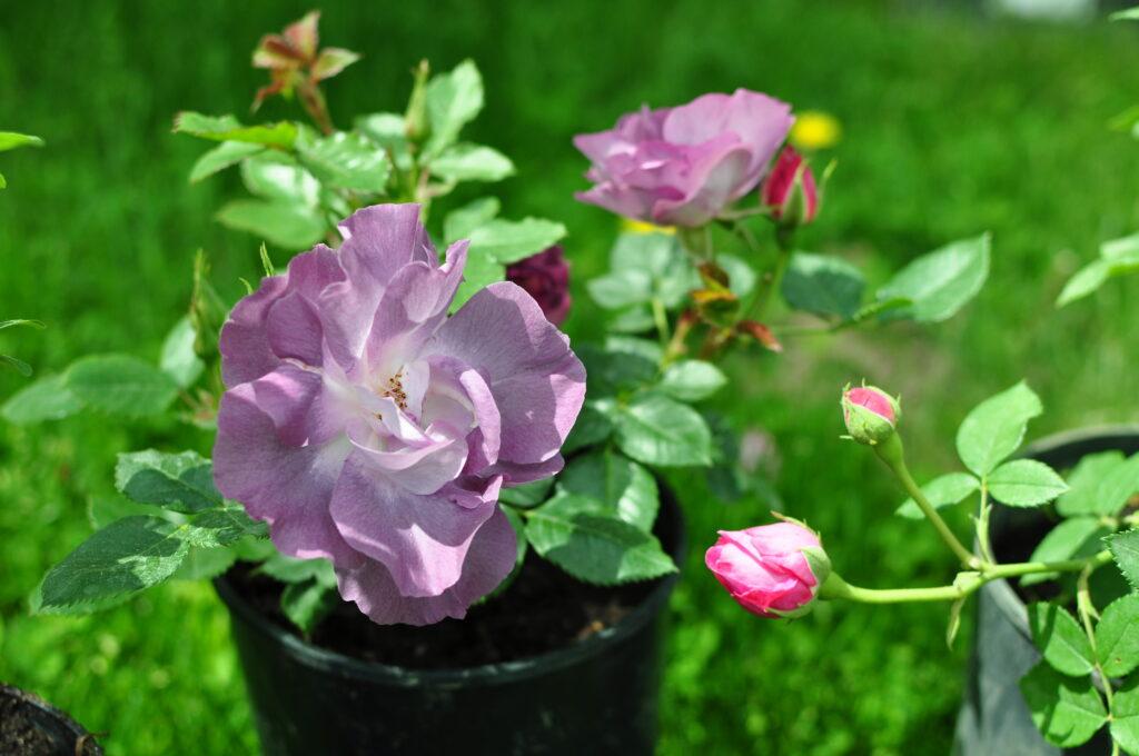 Rabata z różami