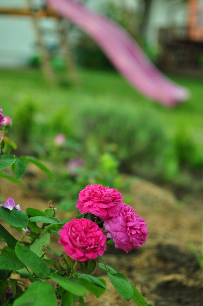 Róża historyczna.